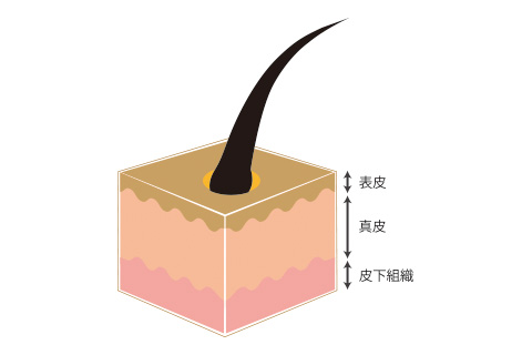 皮膚の断面図イメージ