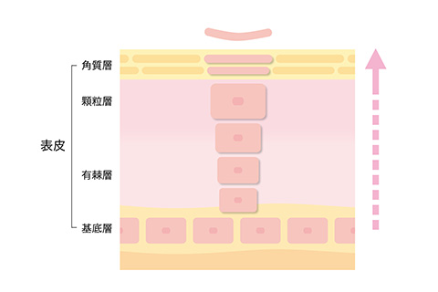 表皮の断面図イメージ