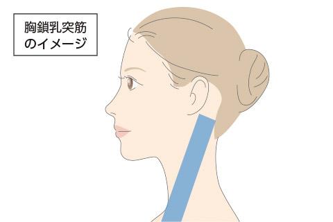 胸鎖乳突筋のイメージ