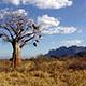 バオバブオイルとは?巨木の抜群の保湿力を持った効果・効能