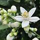 ビターオレンジの花のアロマ!「ネロリ」の効果・効能とは?